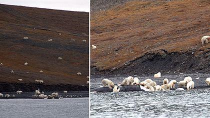 Spektakuläre Bilder: Hunderte Eisbären treffen sich zum Festmahl