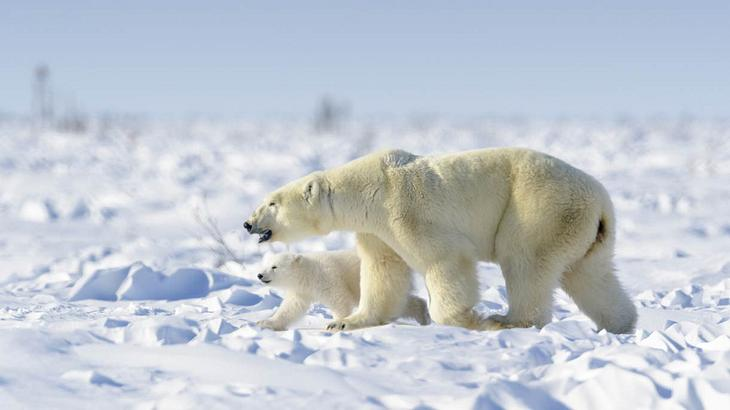Eisbären in freier Wildbahn