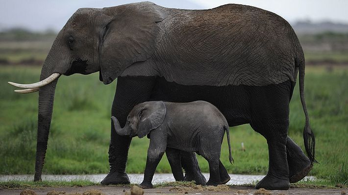 Trump erlaubt Einfuhr von Stoßzähnen getöteter Elefanten