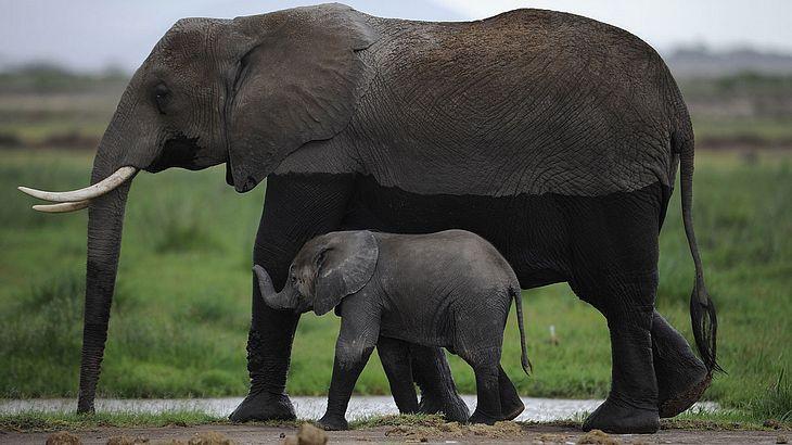 Trump erlaubt die Einfuhr von Stoßzähnen toter Elefanten