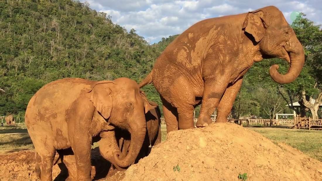 Ein Elefant furzt einem anderen Elefanten in einem thailändischen Zoo ins Gesicht