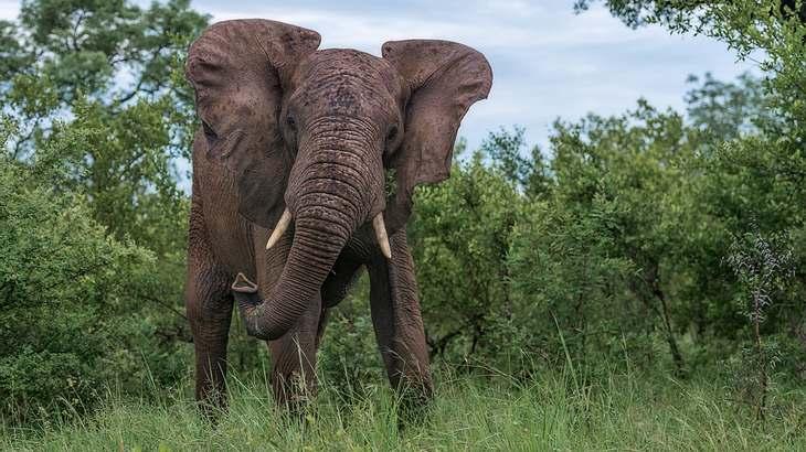 Eine Elefant hat einen Großwildjäger in Namibia zu Tode getrampelt