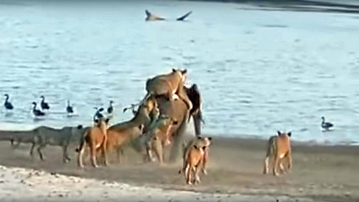 Elefant wird von 14 Löwinnen attackiert. Dann wendet sich das Blatt