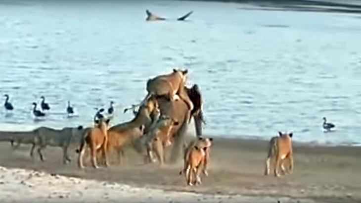 Ein Elefanten-Kalb wird von 14 Löwinnen attackiert