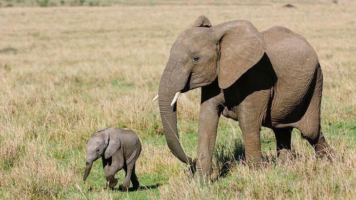 Elefantenkuh mit-Kalb