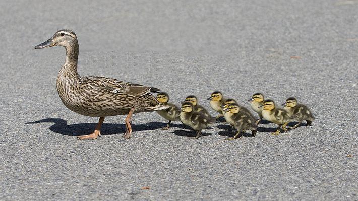 Polizisten wollen Entenfamilie retten - dann werden sie von einem Mann attackiert