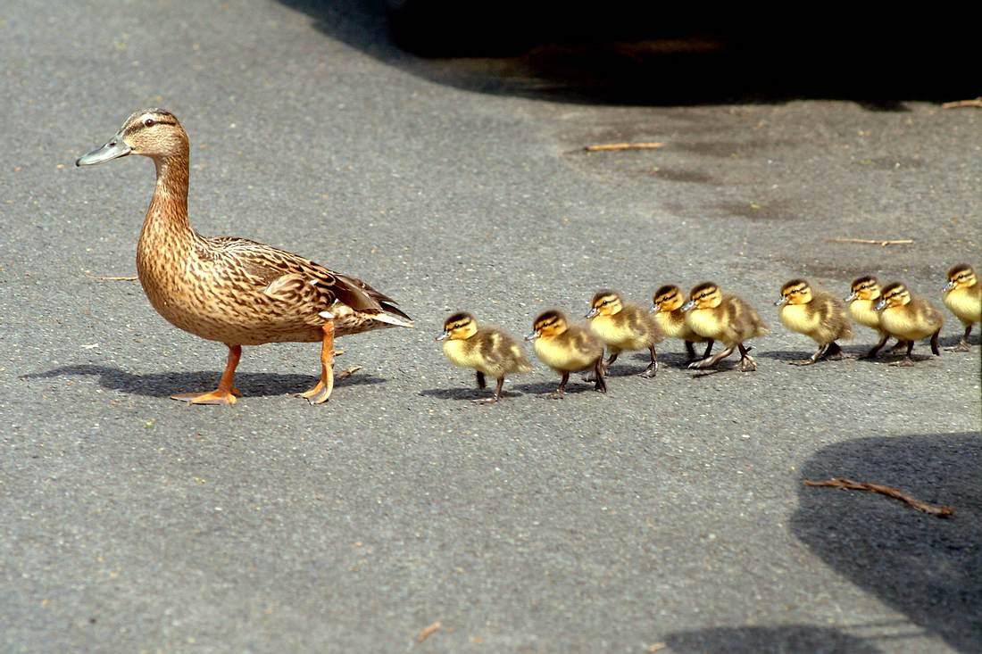Entenfamilie überquert Straße