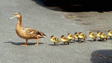 Beim Überqueren der Straße: Entenfamilie verursacht 50.000-Euro-Schaden