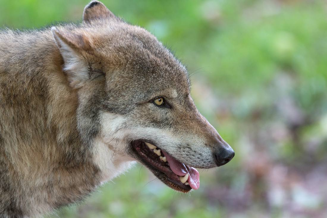 Ein Wolf