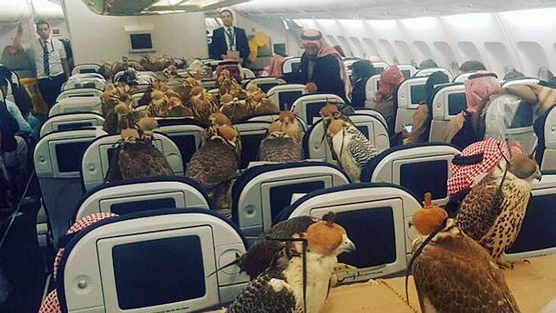Ein arabischer Scheich hat 80 Flugtickets für seine Zuchtfalken gekauft