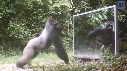 So verrückt reagieren wilde Tiere auf ihr eigenes Spiegelbild