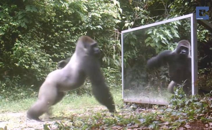 Silberrücken vs. Spiegel: So reagieren wilde Tiere auf ihr Abbild