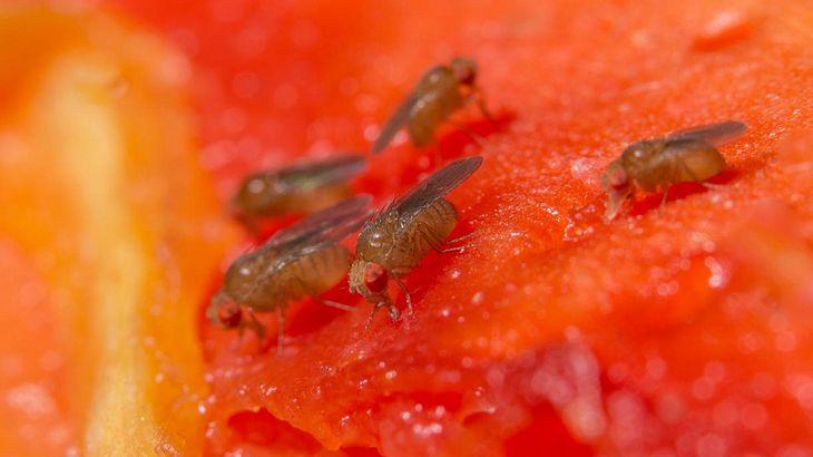 Fruchtfliegen kann man mit einem einfach Trick wieder loswerden