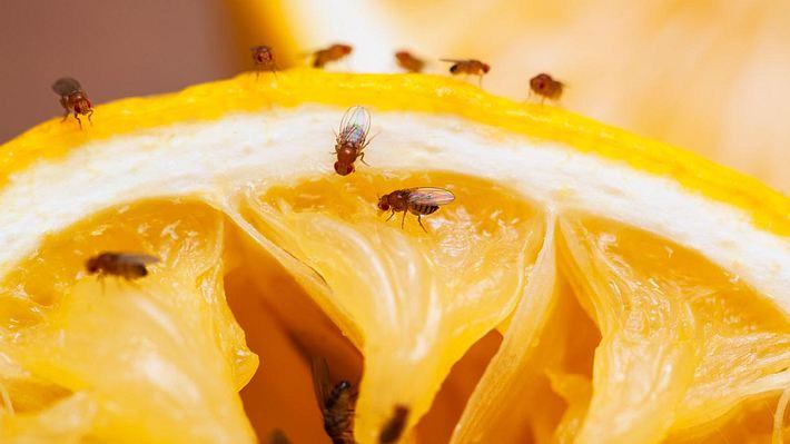 Fruchtfliegen können so einer echten Plage werden - Foto: iStock / Drbouz