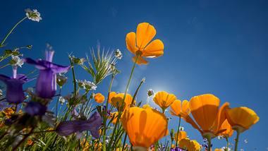 Blühende Blumen im Frühlingswetter - Foto: Getty Images / David McNew