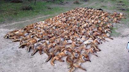 Ex-Fußballer und Schauspieler Vinnie Jones erschießt 100 Füchse - Foto: Twitter / Kanal VinnieJones65