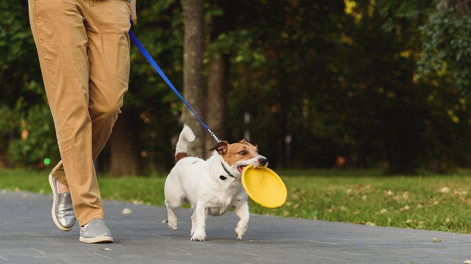 Hund an einer Leine, Frisbee-Scheibe im Maul - Foto: iStock / alexei_tm