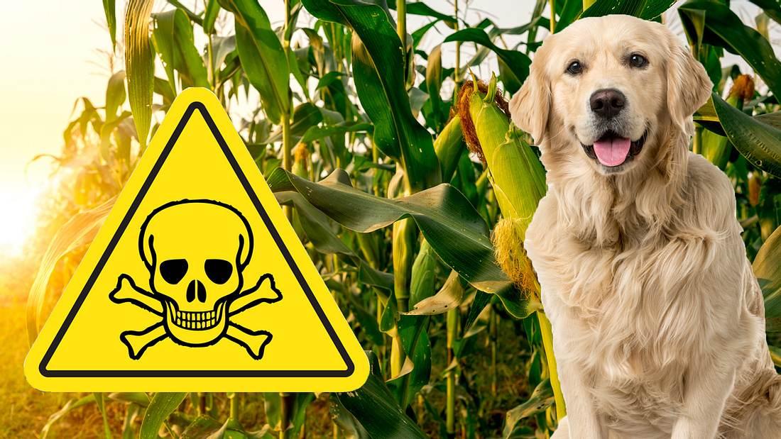 Gefahren für Hunde im Maisfeld