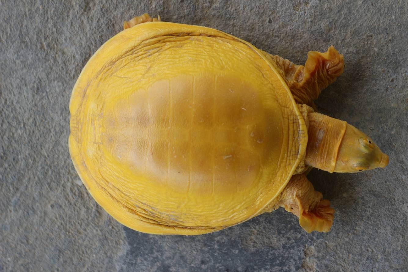Gelbe Schildkröte