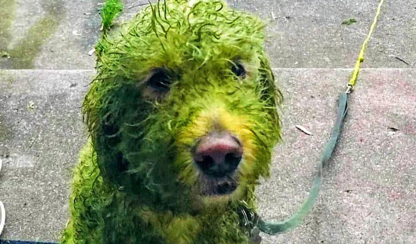 Hund mit grün gefärbtem Fell