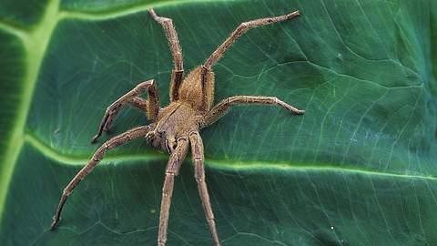 Das ist die giftigste Spinne der Welt