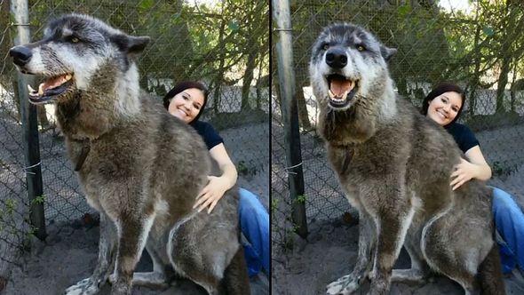 Gigantischer Wolfshund erobert das Internet