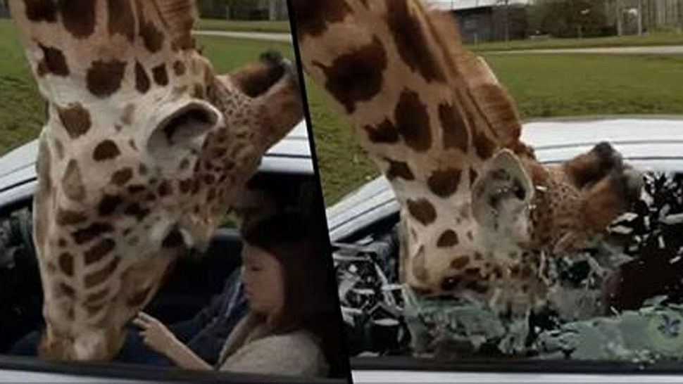 Giraffe sprengt Gaffer per Koma-Kopfnuss in Splitter-Apokalypse