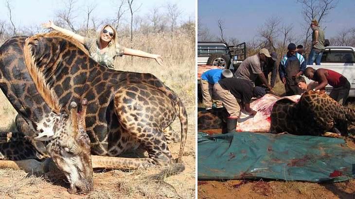 Giraffe stirbt bei Großwildjagd