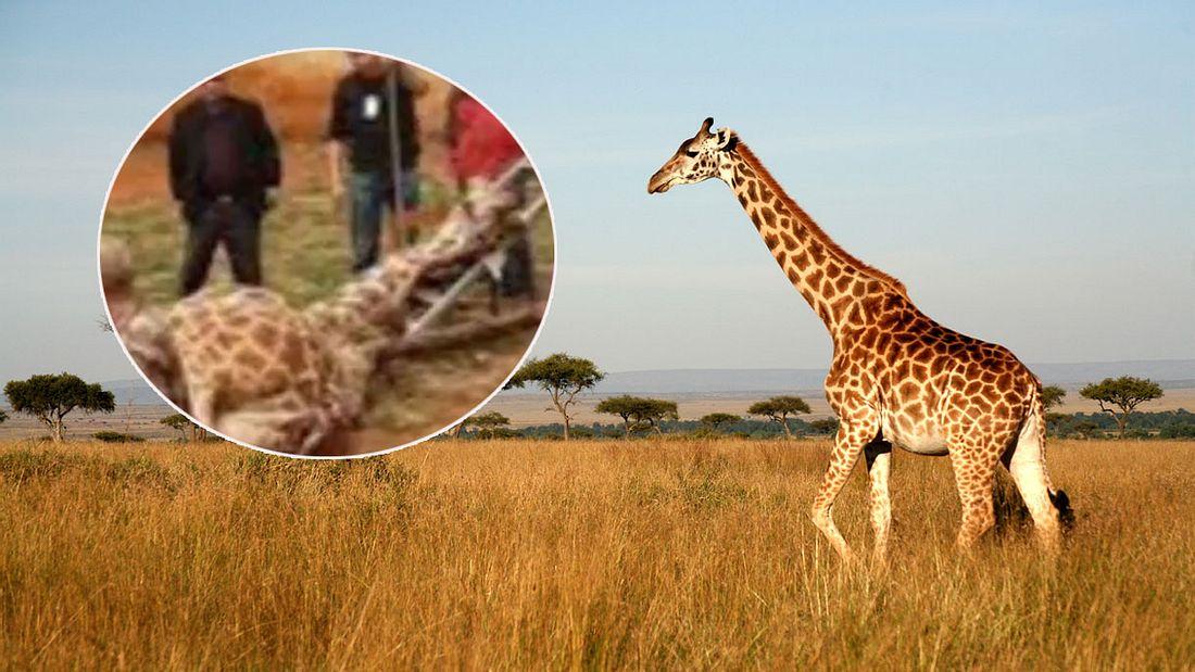 Giraffe stirbt in chinesischem Zoo (Symbolfoto/Collage)