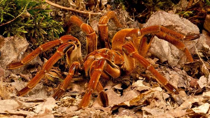 Video: Forscher wird im Urwald von größter Spinne der Welt überrascht