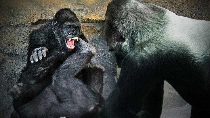 Besucher des Henry Dorley Zoo in Nebraska wurden Zeuge einer handfesten Auseinandersetzung zweier Gorillas