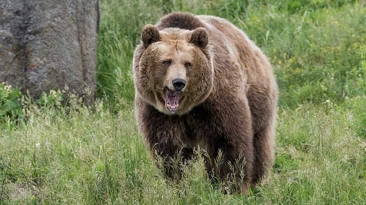 Der Grizzly kann einen Menschen mit einem Schlag töten