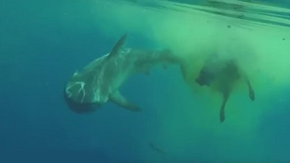 Bizarres Video: Hai frisst Kuh mitten im Ozean