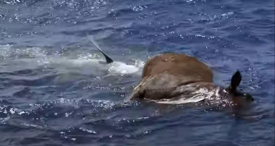 Hai frisst Kuh mitten im Ozean