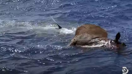 Hai frisst Kuh mitten im Ozean - Foto: YouTube / Discovery