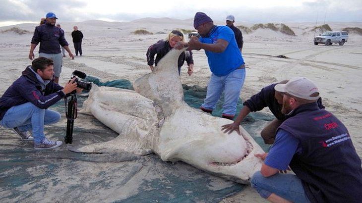Meeresbiologen untersuchen getöteten Weißen Hai