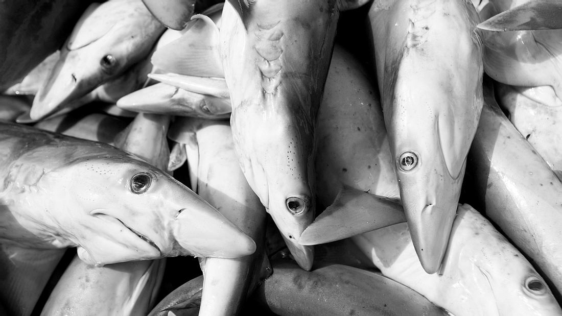 Bah: China-Frachter transportiert 6.000 illegal getötete Haie