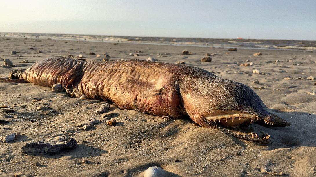 Nach Wirbelsturm: Mysteriöse Kreatur ohne Augen an Land gespült - Foto: Twitter / Preeti Desay