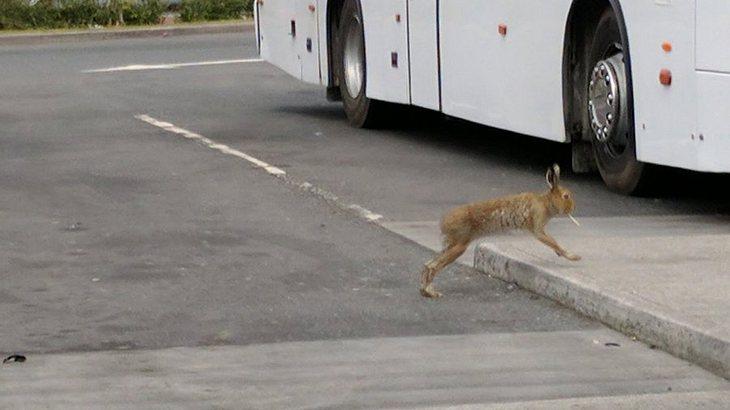 Hopp! Hier hoppelt ein Hase mit Zigarette im Maul über die Straße