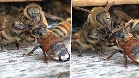 Biene fällt in Honigtopf - was dann passiert, geht um die Welt