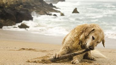 Hund am Strand - Foto: iStock / MarioGuti
