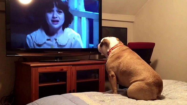 Khaleesi ist ein ganz besonderes Expemplar Hund. Der Vierbeiner schaut gerne TV ...
