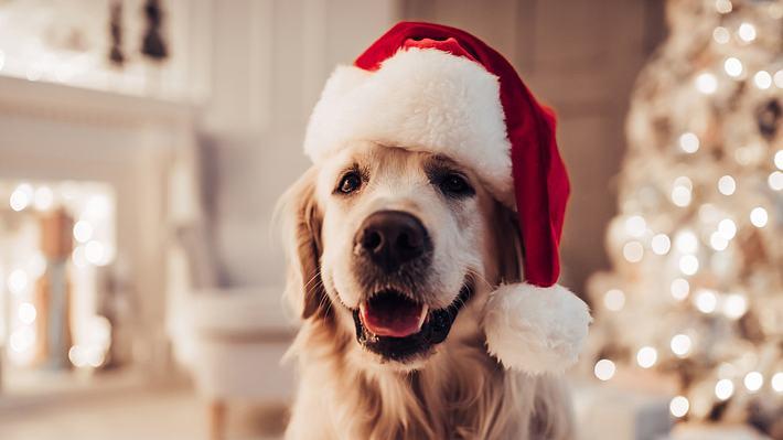 Hund in roter Weihnachtsmütze - Foto: iStock / Vasyl Dolmatov