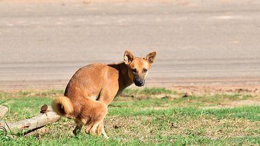 Darum starrt dich dein Hund beim Häufchenmachen an - Foto: iStock / ToeyFatboy