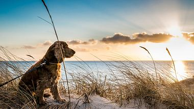 Hund genießt den Sonnenuntergang am Strand - Foto: iStock / grahedphotography