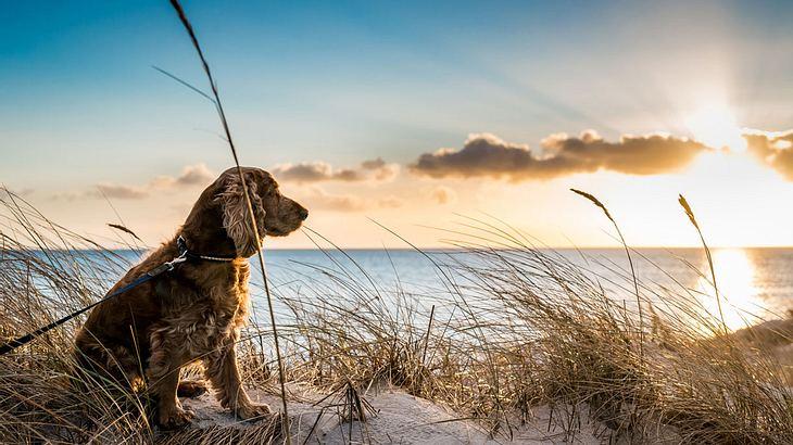 Hund genießt den Sonnenuntergang am Strand