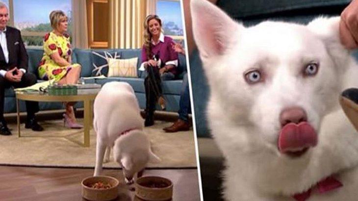 Frau behauptet, ihr Hund sei Vegetarier - wird live im TV auf die Probe stellt