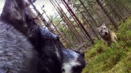 Die schwedische Hündin Klara hat mit einer GoPro gefilmt, wie sie von zwei Wölfen angegriffen wird - Foto: YouTube/Svensk Jakt