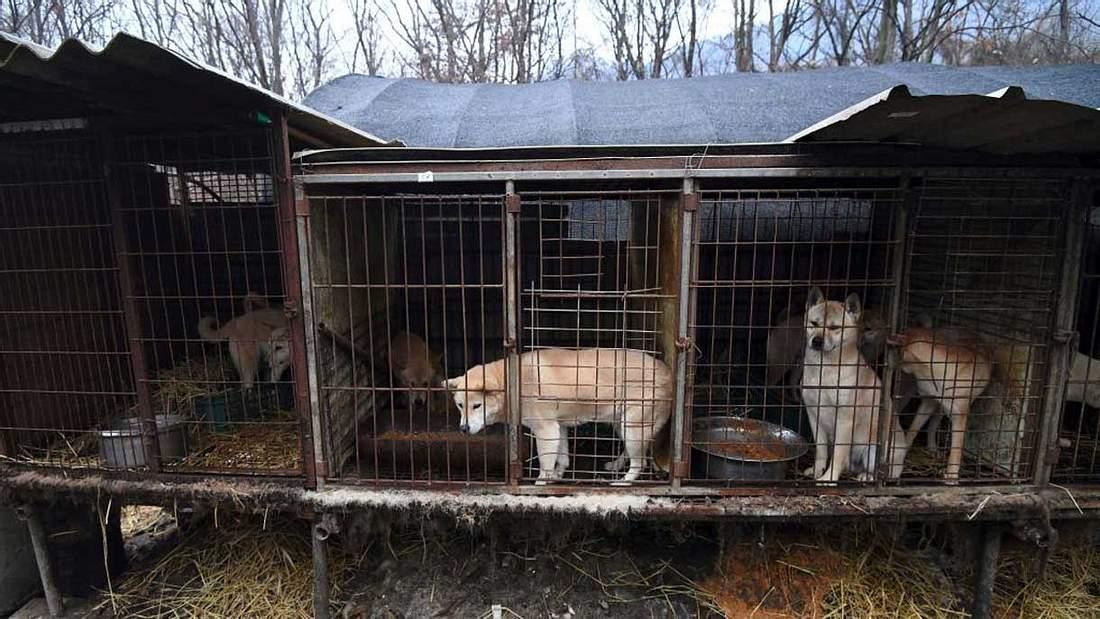 Eine Hundefarm in Südkorea