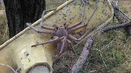 Huntsman-Spinne Charlotte wurde von einer Tierrettung in Australien entdeckt - Foto: Barnyard Betty's Rescue